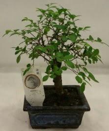 Minyatür ithal japon ağacı bonsai bitkisi  Erzincan çiçek servisi , çiçekçi adresleri