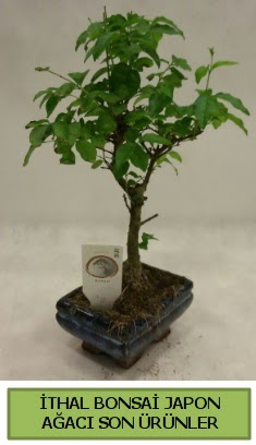 İthal bonsai japon ağacı bitkisi  Erzincan çiçekçi mağazası
