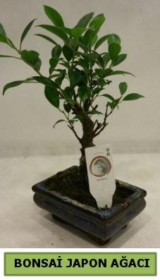 Bonsai japon ağacı saksı bitkisi  Erzincan internetten çiçek satışı