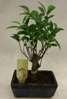Japon ağacı bonsai bitkisi satışı  Erzincan çiçek online çiçek siparişi