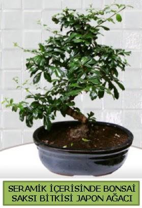 Seramik vazoda bonsai japon ağacı bitkisi  Erzincan online çiçekçi , çiçek siparişi