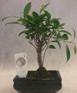 Bonsai japon ağacı bitkisi satışı  Erzincan 14 şubat sevgililer günü çiçek