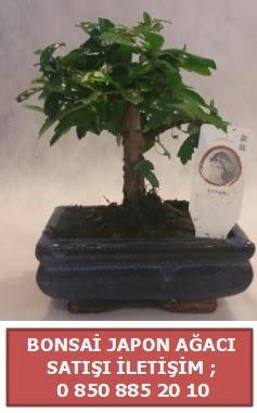 Japon ağacı minyaür bonsai satışı  Erzincan çiçek servisi , çiçekçi adresleri