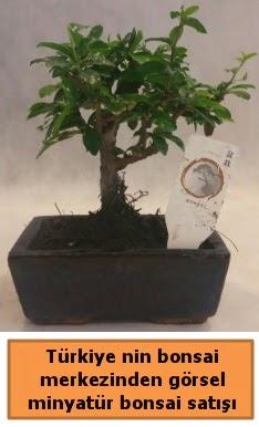 Japon ağacı bonsai satışı ithal görsel  Erzincan anneler günü çiçek yolla