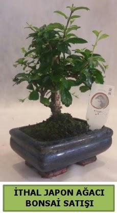 İthal japon ağacı bonsai bitkisi satışı  Erzincan çiçek online çiçek siparişi