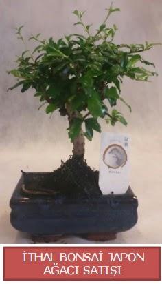 İthal küçük boy minyatür bonsai ağaç bitkisi  Erzincan çiçek online çiçek siparişi