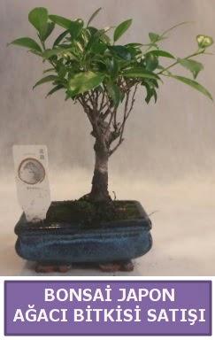 İthal Bonsai japon ağacı bitkisi satışı  Erzincan uluslararası çiçek gönderme