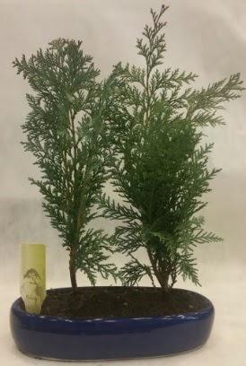 SINIRLI SAYIDA Selvi Ağacı bonsai ikili  Erzincan çiçek online çiçek siparişi