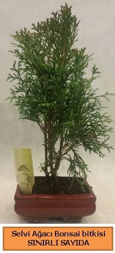 Selvi ağacı bonsai japon ağacı bitkisi  Erzincan çiçek servisi , çiçekçi adresleri