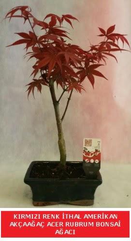 İTHAL ACER RUBRUM BONSAİ AĞACI  Erzincan 14 şubat sevgililer günü çiçek