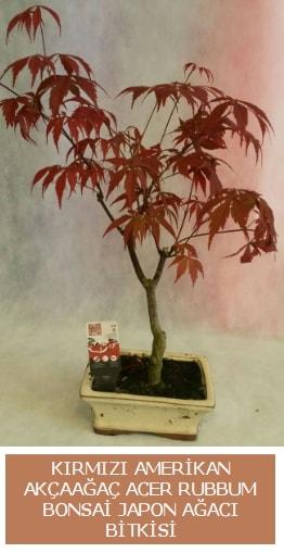 Amerikan akçaağaç Acer Rubrum bonsai  Erzincan çiçek , çiçekçi , çiçekçilik