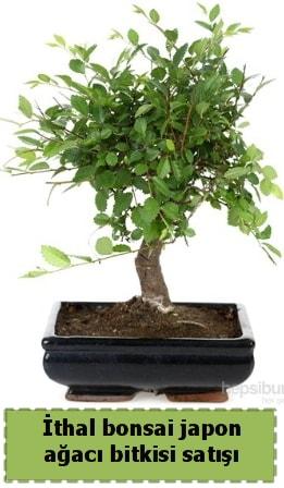 İthal bonsai saksı çiçeği Japon ağacı satışı  Erzincan uluslararası çiçek gönderme