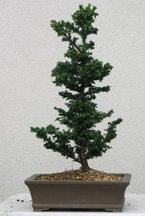 Çam ağacı bonsai bitkisi satışı  Erzincan çiçek online çiçek siparişi
