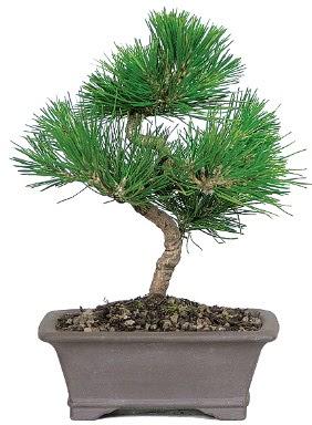 Çam ağacı bonsai japon ağacı bitkisi  Erzincan hediye sevgilime hediye çiçek