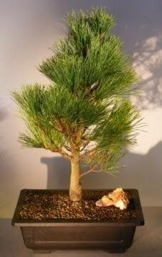 Çam ağacı japon ağacı bitkisi bonsai  Erzincan çiçek online çiçek siparişi