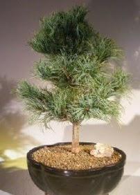 Çam ağacı bonsai bitkisi satışı  Erzincan kaliteli taze ve ucuz çiçekler