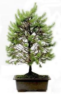 *** STOKTA YOK - Çam ağacı bonsai bitkisi satışı  Erzincan çiçek satışı