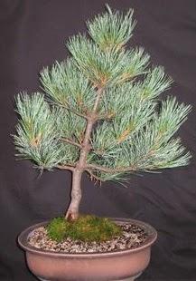 Bonsai çam ağacı japon ağacı bitkisi  Erzincan online çiçekçi , çiçek siparişi