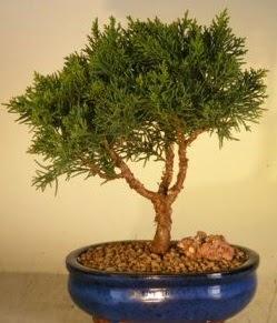 Servi çam bonsai japon ağacı bitkisi  Erzincan anneler günü çiçek yolla