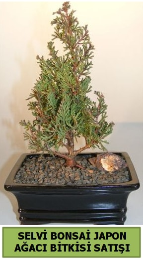 Selvi çam japon ağacı bitkisi bonsai  Erzincan çiçek online çiçek siparişi