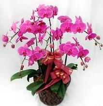 Sepet içerisinde 5 dallı lila orkide  Erzincan kaliteli taze ve ucuz çiçekler