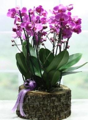 Kütük içerisinde 6 dallı mor orkide  Erzincan kaliteli taze ve ucuz çiçekler
