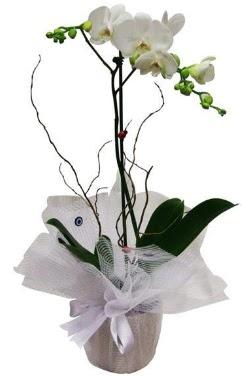 Tek dallı beyaz orkide  Erzincan çiçekçi telefonları