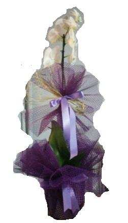 Tek dallı beyaz orkide süper kalite ithal  Erzincan online çiçekçi , çiçek siparişi