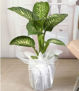 Tropik saksı çiçeği bitkisi  Erzincan çiçek servisi , çiçekçi adresleri