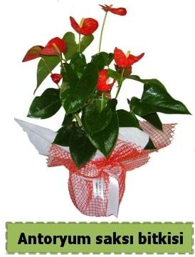 Antoryum saksı bitkisi satışı  Erzincan çiçek mağazası , çiçekçi adresleri