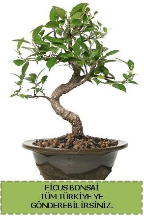 Ficus bonsai  Erzincan 14 şubat sevgililer günü çiçek