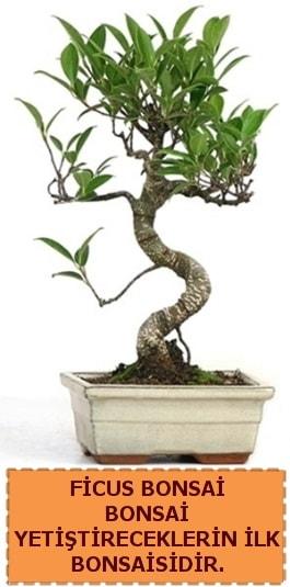 Ficus bonsai 15 ile 25 cm arasındadır  Erzincan anneler günü çiçek yolla