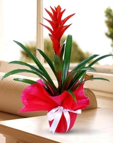 Guzmanya Saksı Çiçeği  Erzincan anneler günü çiçek yolla