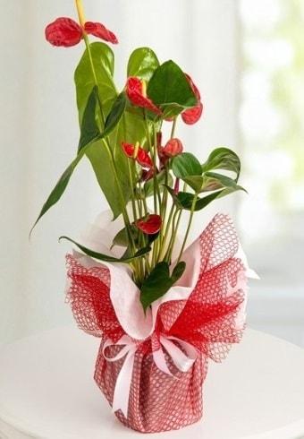 Anthurium Saksı Çiçeği  Erzincan güvenli kaliteli hızlı çiçek