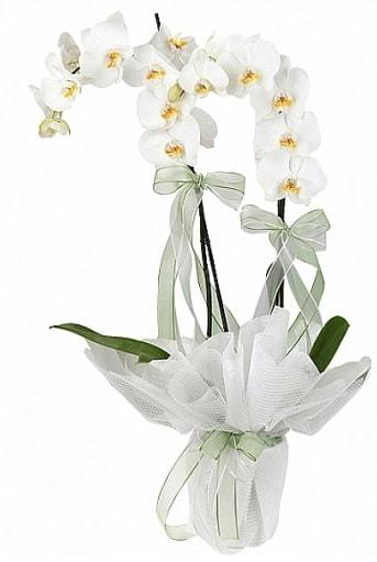 Çift Dallı Beyaz Orkide  Erzincan hediye çiçek yolla