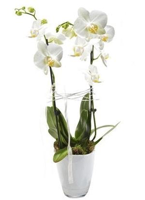 2 dallı beyaz seramik beyaz orkide saksısı  Erzincan 14 şubat sevgililer günü çiçek