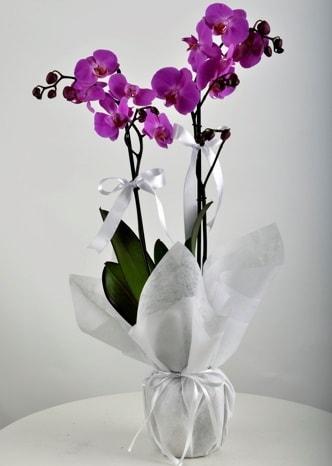 Çift dallı saksıda mor orkide çiçeği  Erzincan çiçek yolla