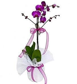 Tek dallı saksıda ithal mor orkide çiçeği  Erzincan İnternetten çiçek siparişi