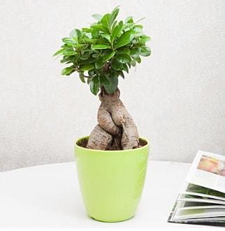Ficus Ginseng Bonsai  Erzincan ucuz çiçek gönder
