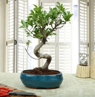 Amazing Bonsai Ficus S İthal  Erzincan çiçek gönderme sitemiz güvenlidir