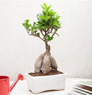 Exotic Ficus Bonsai ginseng  Erzincan internetten çiçek satışı