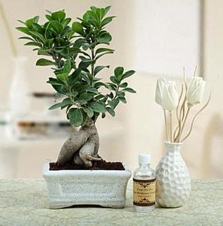 Ginseng ficus bonsai  Erzincan İnternetten çiçek siparişi