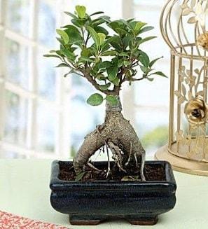 Appealing Ficus Ginseng Bonsai  Erzincan hediye çiçek yolla