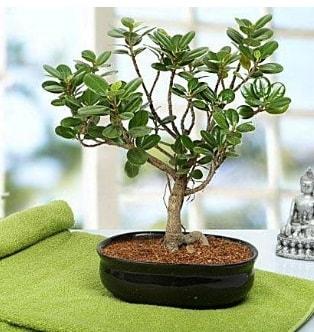 Lovely Ficus Iceland Bonsai  Erzincan hediye çiçek yolla