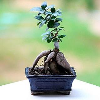 Marvellous Ficus Microcarpa ginseng bonsai  Erzincan çiçek yolla