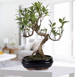 Gorgeous Ficus S shaped japon bonsai  Erzincan online çiçek gönderme sipariş