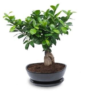 Ginseng bonsai ağacı özel ithal ürün  Erzincan çiçek yolla , çiçek gönder , çiçekçi
