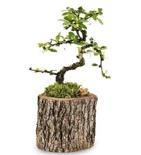 Doğal kütükte S bonsai ağacı  Erzincan çiçek servisi , çiçekçi adresleri