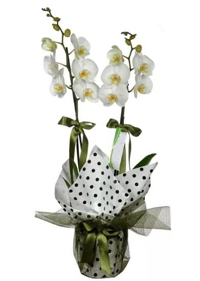 Çift Dallı Beyaz Orkide  Erzincan ucuz çiçek gönder