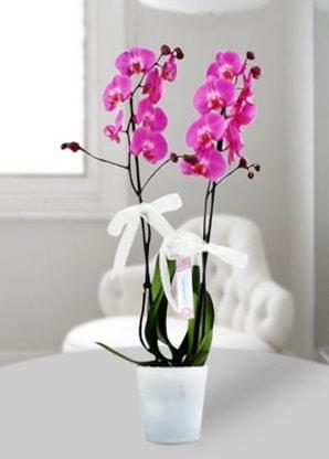 Çift dallı mor orkide  Erzincan İnternetten çiçek siparişi